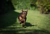 Good girl (cuppyuppycake) Tags: mymaisie smooth haired miniature dachshund puppy cute adorable maisie portrait dog animalblack background bed sleep pillow cat running