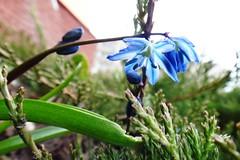. (Гали) Tags: сухойручей растения цветы цветник сцилла сибирская