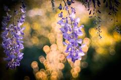 As I lay down (ursulamller900) Tags: telemegor56180 wisteria blauregen glyzinie bokeh sunset purple golden mygarden