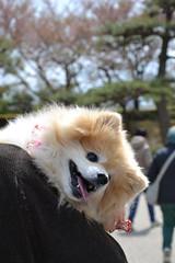 Castello di Himeji (ELENA TABASSO) Tags: himeji giappone japan viaggio viaggi travel travels castello castle dog dogs cane cani animali animale animal