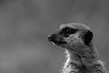 On Watch (west.m) Tags: 600d canon tamron alert animal curious face fur furry lookout meercat meerkat nature sentry standing watch watchful