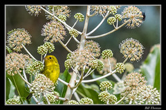 Wilson's Warbler-2 (billthomas_steel) Tags: wilsonswarbler bird britishcolumbia backyard fraservalley female feeding wildlife canada canon eos7d