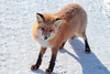 Close Encounter (Dan King Alaskan Photography) Tags: redfox fox vulpesvulpes northslope alaska canon80d sigma150600mm
