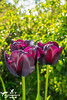 Purple Black Tulips (SLHPhotography1990) Tags: garden photos spring colour isleofwight england sun sunshine heatwave flowers plants love purple black tulips