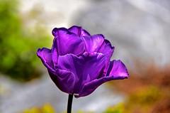 Semi transparence en mauve (Diegojack) Tags: morges vaud suisse d7200 plantes printemps tulipes lumière transparence mauve quais fêtedelatulipe