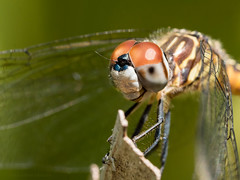 dragonfly (marianna_a.) Tags: dragonfly insect portrait fauna macro bokeh okefenokee florida mariannaarmata