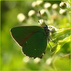 Green Hairstreak (glostopcat) Tags: greenhairstreakbutterfly butterfly hairstreak insect invertebrate glos spring may prestburyhillnaturereserve butterflyconservation macro