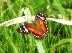 Anartia amathea (DiogoCésar) Tags: borboleta butterfly inseto insetc animal artropode arthropoda parna df nature natureza color