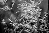 grain bw abstract (quietusleo) Tags: agriculture israel negev desert landscape hay wheat
