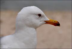 le messager : moins de goélands dans mon quartier... (Save planet Earth !) Tags: seagull goéland france porquerolles bird oiseau amcc nikon animal