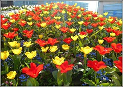Flowers in the City ... (** Janets Photos **) Tags: uk hull citycentres floralclocks flowerbeds tulips plants flowers flora colours