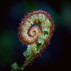 Uncurling (Missy Jussy) Tags: fern life newlife uncurl uncurling nature naturallight springtime spring plant 100mm ef100mmf28macrousm ef100mm canon100mm canon closeup upclose macro outdoor outside