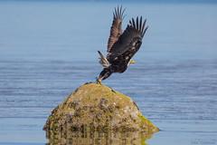 Bald Eagle (John F. Anderson) Tags: baldeagle bluebackbeach nanaimo birdsofprey raptors