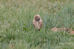 Preening male Burrowing Owl
