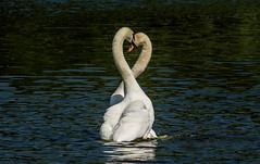 The heart of love. (pitkin9) Tags: birds swans matingdance heartshaped together wildlife nature