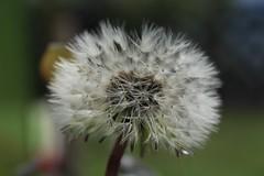 pissenlit (bulbocode909) Tags: valais suisse fleurs pissenlits graines nature printemps vert