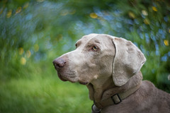 swirlmar (FireDevilPhoto) Tags: bokeh dog pets animal purebreddog cute canine outdoors nature puppy mammal domesticanimals looking oneanimal friendship younganimal grass portrait brown nopeople hound everypixel