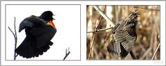 Red-winged Blackbird (Jennz World) Tags: ©jennifermlivick redwingedblackbird blackbird bird