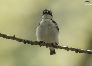 Male Pied Flycatcher