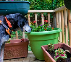 20/52 | is there any fish in here yet? (huckleberryblue) Tags: week20 52weeksfordogs spring flowers dog coonhound bluetickcoonhound gracie