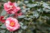 20180203_074 (Thorndike.ar) Tags: camelliajaponica cologne deutschland europa europe flora germany kamelie kamelienausstellung kelvingsoniana köln nordrheinwestfalen northrhinewestphalia strauch