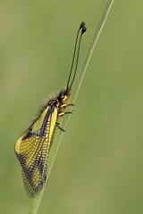Libellen-Schmetterlingshaft (HelmiGloor) Tags: libellenschmetterlingshaft weiach insekten insecta wildlife macro olympusmzuikodigitaled60mm olympusomdem1mkii focusstacking focusbracketing libelloidescoccajus