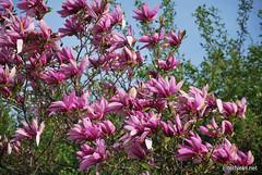 Ботанічний сад імені Гришка Цвітуть магнолії InterNetri  Ukraine 177