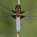 Broad-bodied Chaser (Libellula depressa) (Steve Birt) Tags: