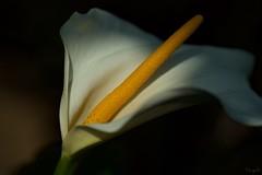 カラー Calla lily (takapata) Tags: sony sel90m28g ilce7m2 flower nature