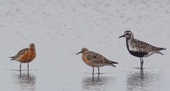 Red Knots with Black-bellied Plover (Art Clausing) Tags: manzanita oregon unitedstates us