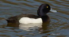 Tufted Duck (wok smuggler) Tags: tuftedduck aythyafuligula duck bird water wildlife wildbird stovercountrypark