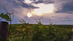 coucher de soleil sur les vignes 1, Recas, Timisoara (patrick Thiaudiere, thanks for 1,5 million views) Tags: signofthetimes flickrfriday vignes ceps raisin chais roumanie recas timisoara