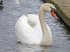 Photo of Mute Swan