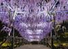 紫藤花,Wisteria sinensis,japan (TaiNg0415) Tags: 紫藤花 wisteria sinensis japan 紫色 花 日本 足利 nikon