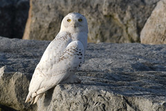 Mr. Snowy (Photos By JM) Tags: nature colonelsamuelsmithpark snowy owl