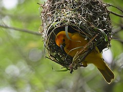 Weaver Bird (pjpink) Tags: yellow bird nest weaver weaverbird animalkingdom disneyworld disney wdw florida fl march 2018 spring pjpink 2catswithcameras