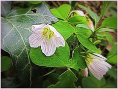 Wood Sorrel (Julie (thanks for 9 million views)) Tags: hss woodsorrel wildflowers tinternwoods beautifulnature petals green canonixus170 sliderssunday 2018onephotoeachday 100flowers2018 macro topazglow postprocessed