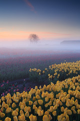 20180421-Canon EOS 6D-6917 (Bartek Rozanski) Tags: sassenheim zuidholland netherlands tulip bollenstreek nederland holland field agriculture mist fog sunrise