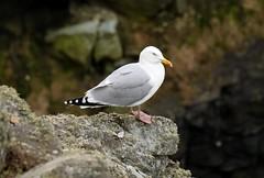 Seagull (etriznova) Tags: seagull wales anglesey