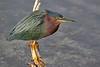 Green Heron with Patience (Darts5) Tags: green greenheron heron herons bird birds wadingbird wading 7d2 7dmarkll 7dmarkii 7d2canon ef100400mmlll closeup canon7d2 canon7dmarkii canon7dmarkll canon canonef100400mmlii upclose animal