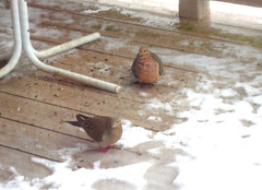 Mourning Dove (DianesDigitals) Tags: dianesdigitals doves mourningdove zenaidamacroura