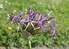 "Allium ""Star of Persia"" starting to bloom (Monceau) Tags: jardindesplantes botanicalgarden garden allium starofpersia purple star flower cluster opening 125365 365picturesin2018 macro 365the2018edition 3652018 day125365 05may18 spillingover bokeh starshaped"