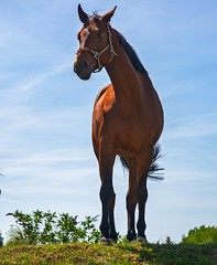 Pferde im Rottal (fuchs_ernst) Tags: nikon nikonobjektiv niederbayern füssing tier pferde tele