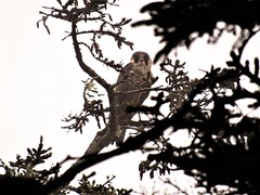 Perigrene Falcon (ntsh182) Tags: bird birds birdofprey nature natural portrait solo naturephotography