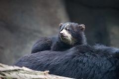 Mama als Ruhekissen (Mel.Rick) Tags: zooduisburg säugetiere tier natur nature mammals brillenbären brillenbärbabys raubtiere bären hundeartige tremarctosornatus