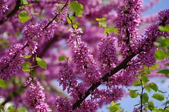 spring (alph@ wolf) Tags: lilac light sun sunlight sky natur naturphotography spring heaven alphawolf photography pentax outdoor pentaxk1 photo pentaxart pflanze plant pink park blooming blume blossom