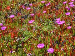 5/7/18 16:26 (joncosner) Tags: 2018 california flora halfmoonbay sfbayarea southbay stars2