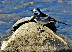Pied Wagtail (howell.davies) Tags: piedwagtail wagtail pied birds bird flies nature wildlife river water wet gwili hendy wales uk nikon d3200 55300mm