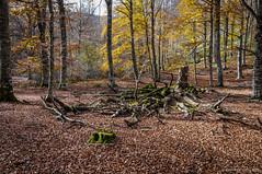 El cadáver (SantiMB.Photos) Tags: 2blog 2tumblr 2ig bosque forest árbol tree navarra otoño autumn aralar geo:lat=4295093751 geo:lon=198490877 geotagged uhartearakil españa esp
