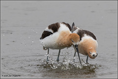 Foreplay 5258 (maguire33@verizon.net) Tags: americanavocet bearrivermigratorybirdrefuge avocet bird breedingadult mating wetlands wildlife corinne utah unitedstates us